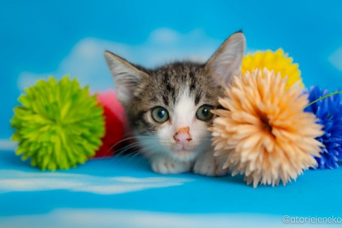 アトリエイエネコ Cat Photographer 42344386355_c23a435388 1日1猫!おおさかねこ俱楽部 里親様募集中のぺこちゃん♪ 1日1猫!  里親様募集中 猫写真 猫カフェ 猫 子猫 大阪 初心者 写真 保護猫カフェ 保護猫 ニャンとぴあ スマホ カメラ おおさかねこ倶楽部 Kitten Cute cat