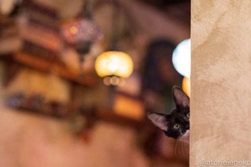 アトリエイエネコ Cat Photographer 28918695077_5a0230e3c6 1日1猫!保護猫カフェウリエルへ行ってきた(1/2)♪ 1日1猫!  里親様募集中 猫写真 猫カフェ 猫 大阪 初心者 写真 保護猫カフェウリエル 保護猫カフェ 保護猫 中崎町 スマホ カメラ ウリエル Kitten Cute cat