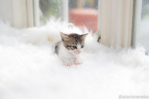 アトリエイエネコ Cat Photographer 30110409718_8bd09a7c82 1日1猫!高槻ねこのおうち 里活中のルナちゃん♪ 1日1猫!  高槻ねこのおうち 里親様募集中 里親募集 猫写真 猫カフェ 猫 子猫 大阪 初心者 写真 保護猫 スマホ カメラ Kitten Cute cat