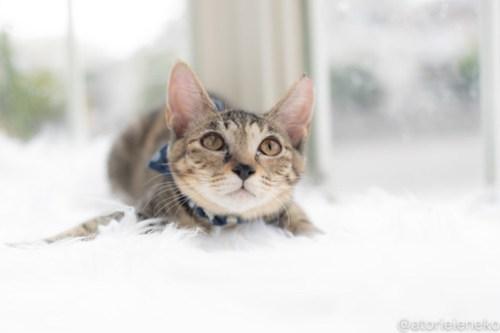 アトリエイエネコ Cat Photographer 30110290368_8a6139bbeb 1日1猫!高槻ねこのおうち 里活中のリウちゃん♪ 1日1猫!  高槻ねこのおうち 里親様募集中 猫写真 猫カフェ 猫 子猫 大阪 初心者 写真 保護猫カフェ 保護猫 スマホ キジ猫 カメラ Kitten Cute cat