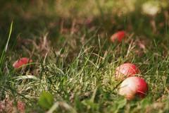 fallen apples in grass