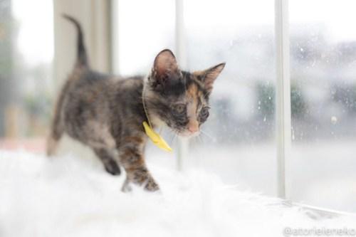 アトリエイエネコ Cat Photographer 43978860211_121afd7c18 1日1猫!高槻ねこのおうち 里活中のトヨちゃん♪ 1日1猫!  高槻ねこのおうち 里親様募集中 猫写真 猫カフェ 猫 子猫 大阪 初心者 写真 保護猫カフェ 保護猫 スマホ サビ猫 キジ猫 カメラ Kitten Cute cat