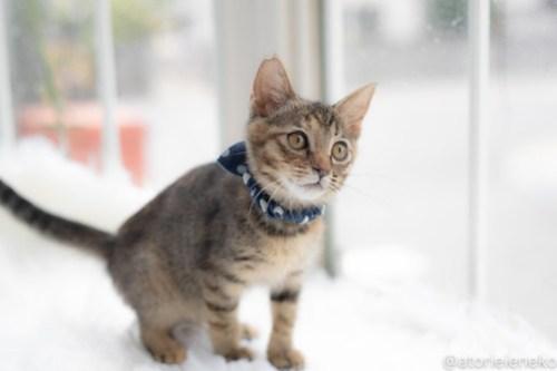 アトリエイエネコ Cat Photographer 29040898407_d2283c1bd4 1日1猫!高槻ねこのおうち 里活中のココスちゃん♪ 1日1猫!  高槻ねこのおうち 里親様募集中 猫写真 猫カフェ 猫 子猫 大阪 写真 保護猫カフェ 保護猫 スマホ キジ猫 キジ カメラ Kitten Cute cat