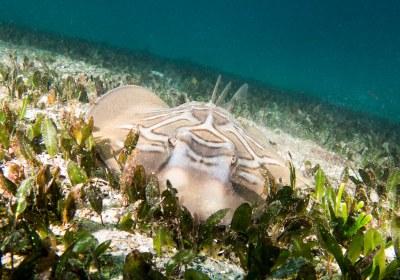 Concentration - Trygonorrhina fasciata Fiddler ray #marineexplorer