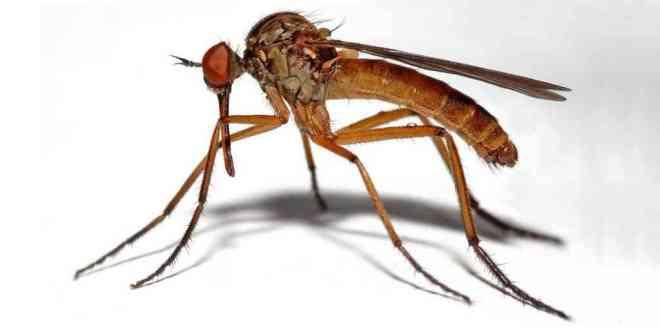 moustique-recherche-micro-aiguilles