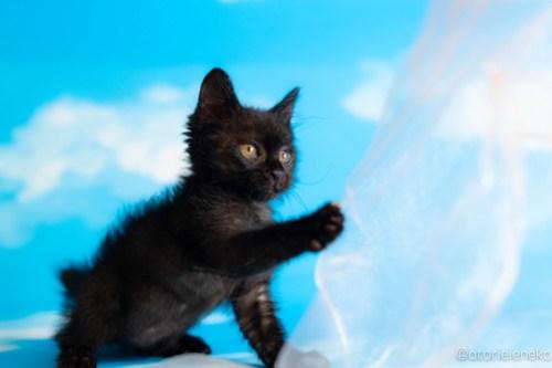 アトリエイエネコ Cat Photographer 42344327045_120a34a6d6 1日1猫!おおさかねこ俱楽部 里親様募集中のセシルちゃん♪ 1日1猫!  黒猫 里親様募集中 猫写真 猫カフェ 猫 子猫 大阪 初心者 写真 保護猫カフェ 保護猫 ニャンとぴあ スマホ カメラ おおさかねこ倶楽部 Kitten Cute cat
