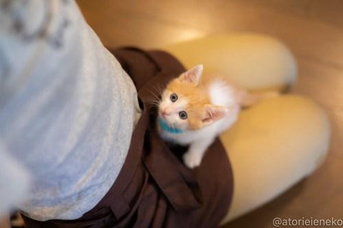 アトリエイエネコ Cat Photographer 43403604671_3fde8c74d5 1日1猫!CaraCatCafe天使に会いに行って来ました♪ 1日1猫!  里親様募集中 猫 子猫 大阪 初心者 写真 保護猫カフェ 保護猫 スマホ カメラ Kitten Cute cat caracatcafe