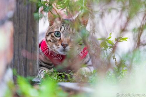 アトリエイエネコ Cat Photographer 42184826190_4d70085178 1日1猫! 8/12しっぽ天使&高槻ねこのおうち(第三回 猫・雑貨店&里親探し) 1日1猫!  高槻ねこのおうち 里親様募集中 譲渡会 猫写真 猫カフェ 猫 子猫 大阪 写真 保護猫 しっぽ天使 Kitten Cute cat 24節記