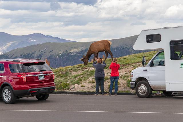 Elk Encounter