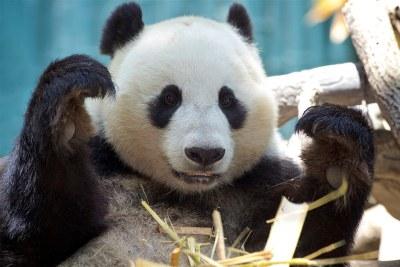 Xiao Liwu  - San Diego Zoo
