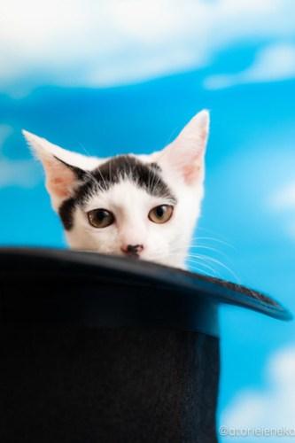 アトリエイエネコ Cat Photographer 27974429817_e65ddcca77 1日1猫!おおさかねこ俱楽部 里親様募集中のマッチくん♪ 1日1猫!  里親様募集中 猫写真 猫カフェ 猫 子猫 大阪 初心者 写真 保護猫カフェ 保護猫 ニャンとぴあ スマホ カメラ おおさかねこ倶楽部 Kitten Cute cat