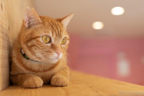 アトリエイエネコ Cat Photographer 41942384645_fdd290ec08 1日1猫ニャンとぴあ 新入りくりちゃん♪ 1日1猫!  里親様募集中 猫写真 猫カフェ 猫 子猫 大阪 写真 保護猫カフェ 保護猫 ニャンとぴあ スマホ カメラ おおさかねこ倶楽部 Kitten Cute cat