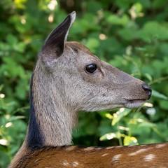 MBa18-24 Dorset Deer