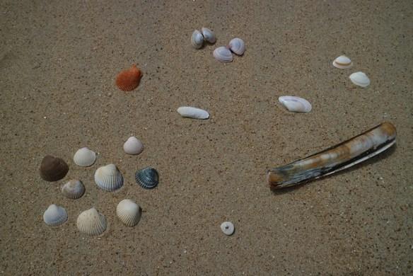Schelpen rapen aan de Belgische kust soorten