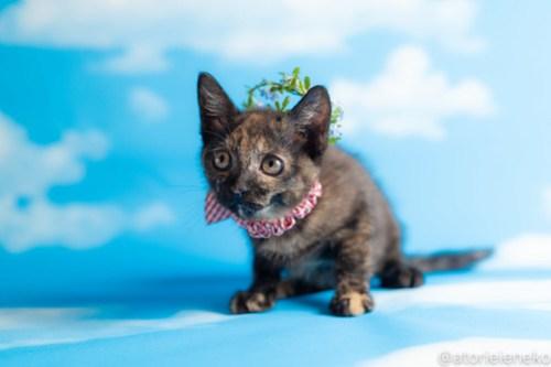 アトリエイエネコ Cat Photographer 42043322180_6ac32b0cc5 1日1猫!おおさかねこ倶楽部 ミチルお嫁に行きます♪ 1日1猫!  里親様募集中 猫写真 猫カフェ 猫 子猫 大阪 写真 保護猫カフェ 保護猫 ニャンとぴあ スマホ サビ猫 カメラ おおさかねこ倶楽部 Kitten Cute cat