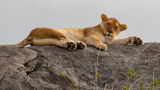 Simba - lion on kopje