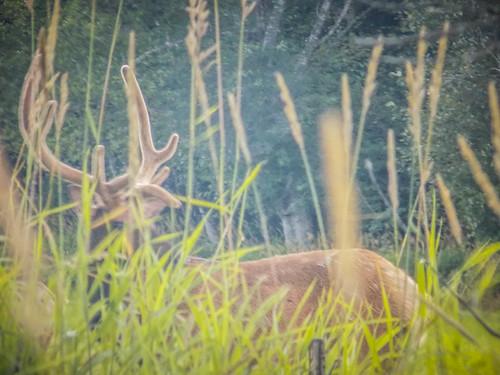 Skagit Valley Elk-001