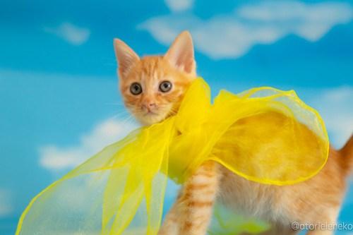 アトリエイエネコ Cat Photographer 29378167988_c7d9994d0e 1日1猫!おおさかねこ俱楽部 里親様募集中のおぼっちゃまくん♪ 1日1猫!  里親様募集中 茶トラ 猫写真 猫カフェ 猫 子猫 大阪 初心者 写真 保護猫カフェ 保護猫 スマホ カメラ ちゃとら おおさかねこ倶楽部 Kitten Cute cat