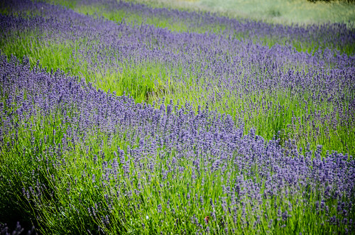 Purple Haze Lavender Farm-007