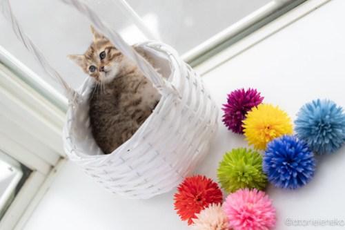 アトリエイエネコ Cat Photographer 41465595190_f938dd296e 1日1猫!高槻ねこのおうち 里親様募集中のろこちゃん♪ 1日1猫!  高槻ねこのおうち 里親様募集中 猫写真 猫カフェ 猫 子猫 大阪 初心者 写真 保護猫カフェ 保護猫 キジ猫 Kitten Cute cat