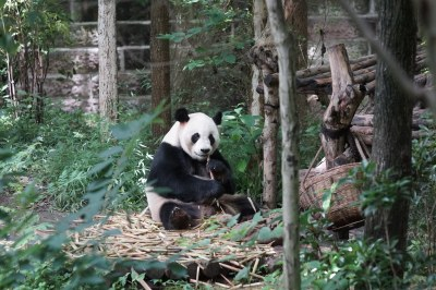 Yuhin (雄浜) aka Xiong Bang (雄浜) at Chengdu Panda Base 2018-06-08