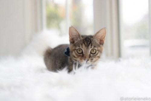 アトリエイエネコ Cat Photographer 29040899687_bfa6d91bb3 1日1猫!高槻ねこのおうち 里活中のココスちゃん♪ 1日1猫!  高槻ねこのおうち 里親様募集中 猫写真 猫カフェ 猫 子猫 大阪 写真 保護猫カフェ 保護猫 スマホ キジ猫 キジ カメラ Kitten Cute cat