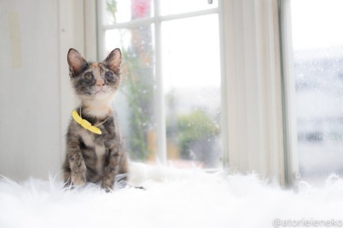 アトリエイエネコ Cat Photographer 43073367825_751c507927 1日1猫!高槻ねこのおうち 里活中のトヨちゃん♪ 1日1猫!  高槻ねこのおうち 里親様募集中 猫写真 猫カフェ 猫 子猫 大阪 初心者 写真 保護猫カフェ 保護猫 スマホ サビ猫 キジ猫 カメラ Kitten Cute cat