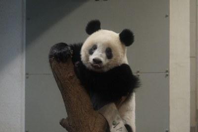 14-month-old Xiang Xiang (香香) 2018-08-18