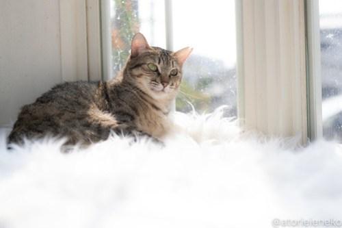 アトリエイエネコ Cat Photographer 43978910991_375b825afb 1日1猫!高槻ねこのおうち 里活中のてらちゃん♪ 1日1猫!  高槻ねこのおうち 里親様募集中 猫写真 猫カフェ 猫 子猫 大阪 初心者 写真 保護猫 キジ猫 カメラ Kitten Cute cat