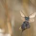 Common Blue-3005