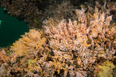 Carijoa soft coral under overhang #marineexplorer