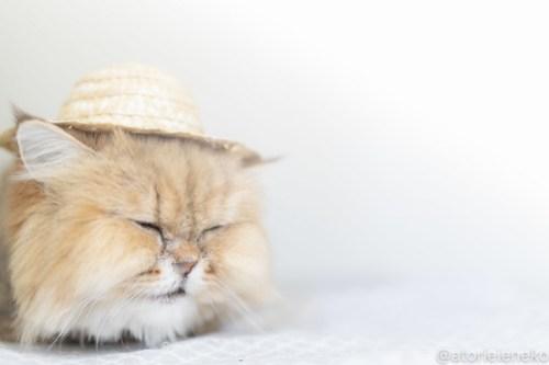 アトリエイエネコ Cat Photographer 43215133265_fcd5852671 1日1猫!保護猫カフェねこんチ 2018夏 1/2♪ 1日1猫!  里親様募集中 猫写真 猫カフェ 猫 泉大津 子猫 大阪 初心者 写真 保護猫カフェねこんチ 保護猫カフェ 保護猫 カメラ Kitten Cute cat