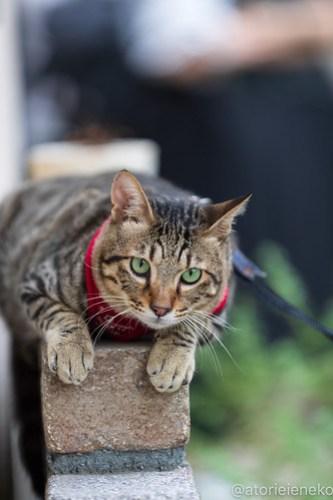 アトリエイエネコ Cat Photographer 43088468095_652f444bdf 1日1猫! 8/12しっぽ天使&高槻ねこのおうち(第三回 猫・雑貨店&里親探し) 1日1猫!  高槻ねこのおうち 里親様募集中 譲渡会 猫写真 猫カフェ 猫 子猫 大阪 写真 保護猫 しっぽ天使 Kitten Cute cat 24節記