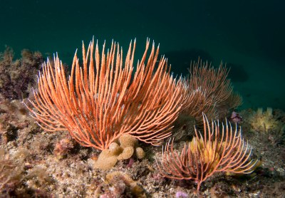 Southern sea fan Sphaerokodisis australis #marineexplorer