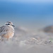 Mornellregenpfeifer - Dotterel