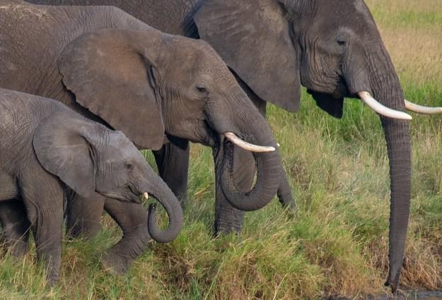 Family portrait. Elephants