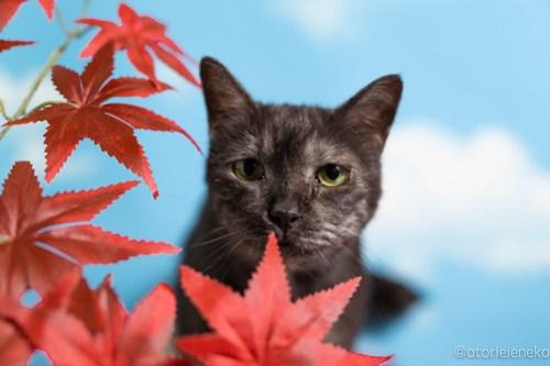 アトリエイエネコ Cat Photographer 29632394967_12907ee400 1日1猫!「かりぐらしの猫たち」さんのシェルターへ行って来た♪(2/2) 1日1猫!  里親様募集中 猫写真 猫 子猫 大阪 吹田 初心者 写真 保護猫 かりぐらしの猫たち Kitten Cute cat