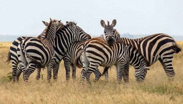 Zebra confusion