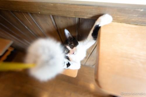 アトリエイエネコ Cat Photographer 29446213127_564a052e86 1日1猫!CaraCatCafe天使に会いに行って来た(いや1週間前にry)格さんおめでとう♪ 1日1猫!  里親様募集中 箕面 猫写真 猫カフェ 猫 子猫 大阪 初心者 写真 保護猫カフェ 保護猫 ハチワレ スマホ キジ猫 カメラ Kitten Cute cat caracatcafe