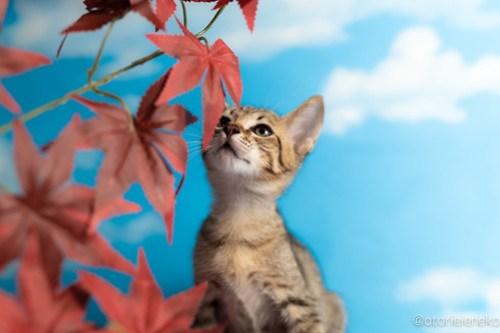 アトリエイエネコ Cat Photographer 43640125955_6761661cb3 1日1猫!おおさかねこ倶楽部 里活中のレンくん♪ 1日1猫!  里親様募集中 猫写真 猫カフェ 猫 子猫 大阪 初心者 写真 保護猫カフェ 保護猫 ニャンとぴあ キジ猫 カメラ おおさかねこ倶楽部 Kitten Cute cat
