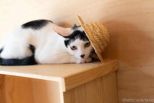 アトリエイエネコ Cat Photographer 44207220402_64309a11ca 1日1猫!おおさかねこ俱楽部 里活中のマッチくんです♪ 未分類  里親様募集中 猫写真 猫カフェ 猫 子猫 大阪 初心者 写真 保護猫カフェ 保護猫 ニャンとぴあ スマホ カメラ おおさかねこ倶楽部 Kitten Cute cat