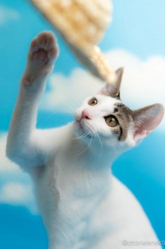 アトリエイエネコ Cat Photographer 44423509391_26012ab3f7 1日1猫!なら地域ねこの会さんの猫撮影会♪ 1日1猫!  猫写真 猫カフェ 猫 子猫 奈良 大阪 初心者 写真 保護猫カフェ 保護猫 ハチワレ ニャンとぴあ スマホ キジ猫 カメラ なら地域ねこの会 Kitten Cute cat