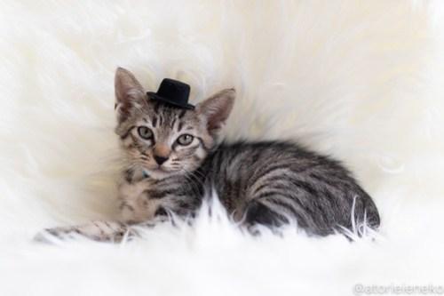 アトリエイエネコ Cat Photographer 44152715391_206d7b6e25 1日1猫!しっぽ天使さん 里活中の玄「げん」くん ♂ 生後2ヶ月 1/4♪ 1日1猫!  高槻ねこのおうち 高槻 里親様募集中 猫写真 猫カフェ 猫 子猫 大阪 初心者 写真 保護猫 しっぽ天使 Kitten Cute cat