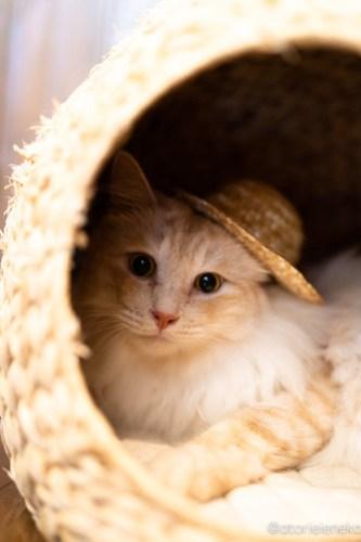 アトリエイエネコ Cat Photographer 44382194761_1616082bbe 1日1猫!CaraCatCafe天使に会いに行って来た(いや1週間前にry)格さんおめでとう♪ 1日1猫!  里親様募集中 箕面 猫写真 猫カフェ 猫 子猫 大阪 初心者 写真 保護猫カフェ 保護猫 ハチワレ スマホ キジ猫 カメラ Kitten Cute cat caracatcafe