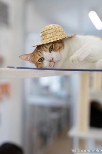 アトリエイエネコ Cat Photographer 30253642578_7cf82c9b13 1日1猫!保護猫カフェねこんチ 2018夏 2/2♪ 1日1猫!  里親様募集中 猫写真 猫カフェ 猫 泉大津 子猫 大阪 初心者 写真 保護猫カフェねこんチ 保護猫カフェ 保護猫 カメラ Kitten Cute cat