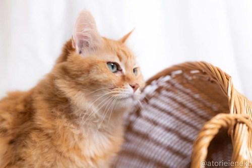 アトリエイエネコ Cat Photographer 30286108018_8eb36fe329 1日1猫!しっぽ天使さんの「猫舎」に行ってきた 19歳の花嫁シロちゃん 2/2♪ 1日1猫!  高槻ねこのおうち 高槻 里親様募集中 猫写真 猫カフェ 猫 子猫 大阪 初心者 写真 保護猫カフェ 保護猫 しっぽ天使 Kitten Cute cat