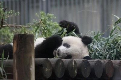15-month-old Xiang Xiang (香香) 2018-09-15