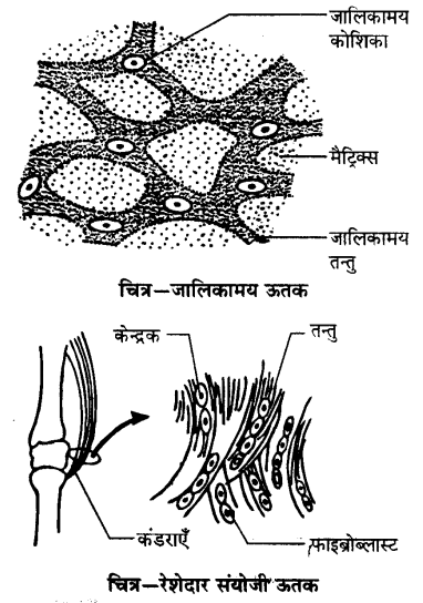 UP Board Solutions for Class 9 Science Chapter 6 Tissues l 7