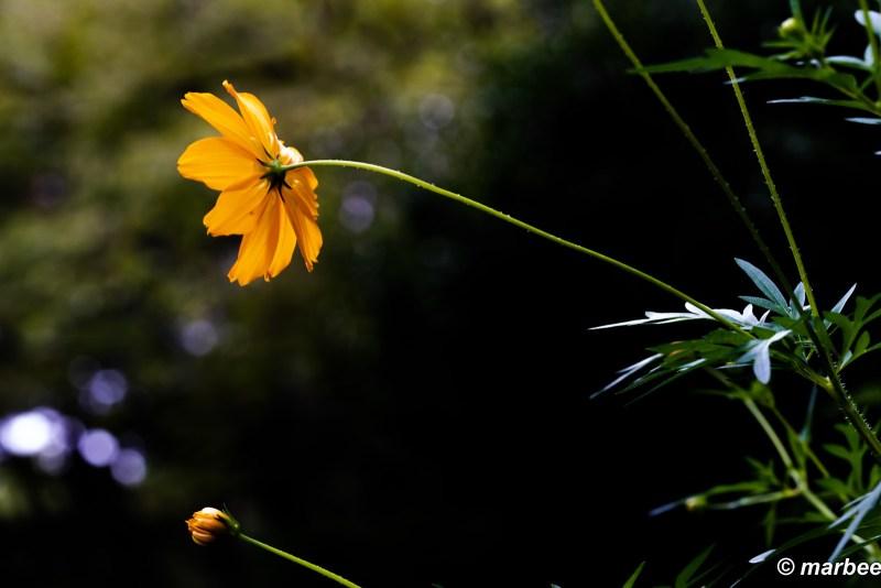 Kibanakosmos bloomed