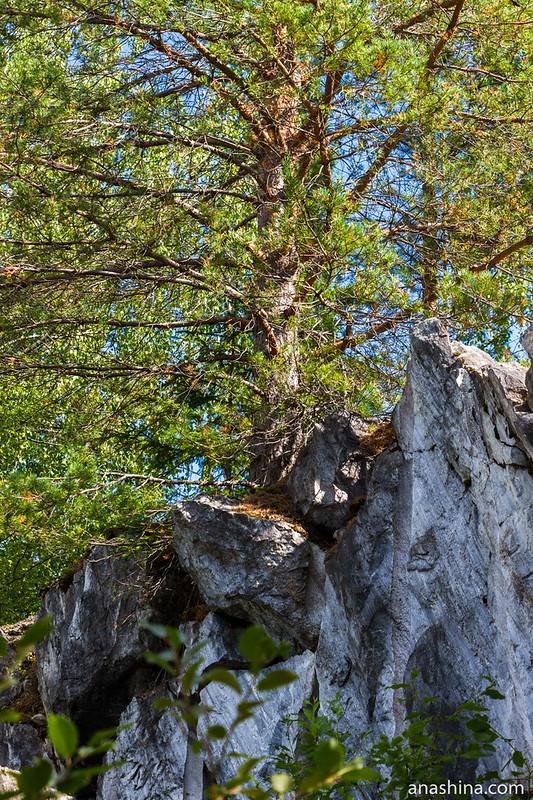Сосна, Горный парк Рускеала